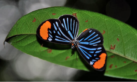 Amazon exotic animals Brazil, florest butterfly
